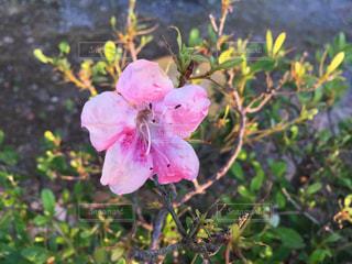 植物にピンクの花の写真・画像素材[907713]