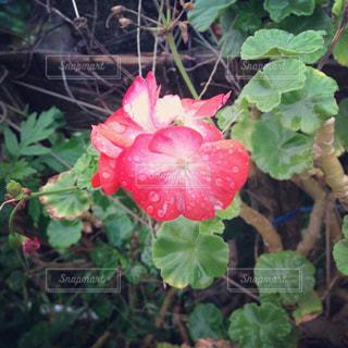 朝露と花の写真・画像素材[908067]
