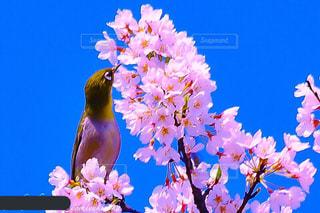 ピンクの写真・画像素材[424543]