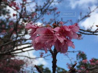 桜の写真・画像素材[342215]