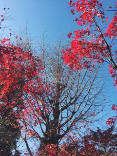 木の赤い花の写真・画像素材[853444]