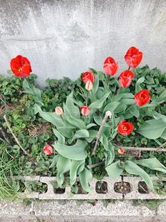 赤いチューリップとコンクリートブロックの写真・画像素材[1122794]