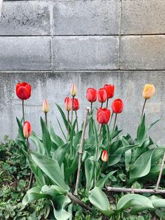 塀の前に咲く赤いチューリップの写真・画像素材[1122796]