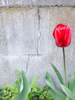 コンクリート塀と赤いチューリップの写真・画像素材[1122798]