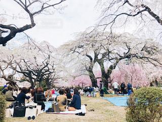 桜の木とお花見をする人々の写真・画像素材[1122928]