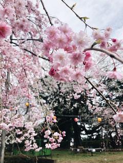ピンクの桜の花と枝の写真・画像素材[1122929]
