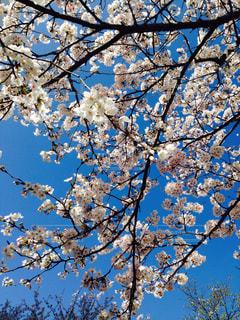 桜の写真・画像素材[342616]