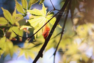 紅葉しかけのもみじの写真・画像素材[779012]