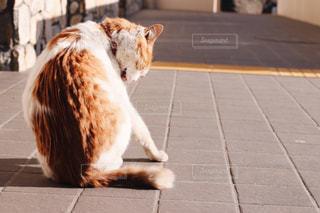 毛づくろい中の猫の写真・画像素材[779015]