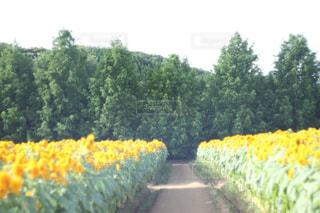 世羅高原農場のひまわり畑の写真・画像素材[779036]