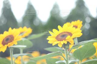ひまわり畑の写真・画像素材[779057]