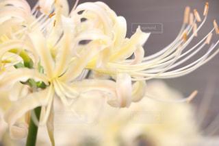 白い彼岸花 - No.779060
