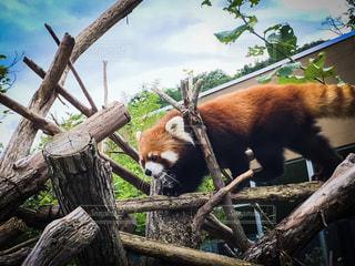 レッサーパンダ 円山動物園の写真・画像素材[1421350]