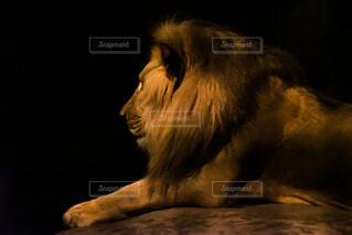 旭山動物園 夜の動物園のライオンの写真・画像素材[3741789]