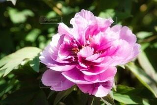 ボタンの花のクローズアップの写真・画像素材[3743627]