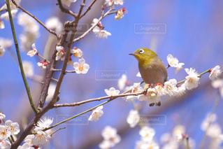 梅の写真・画像素材[343288]