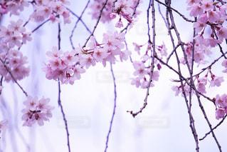 桜の写真・画像素材[344676]