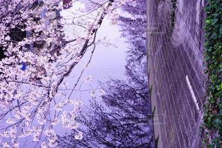 No.345175 桜