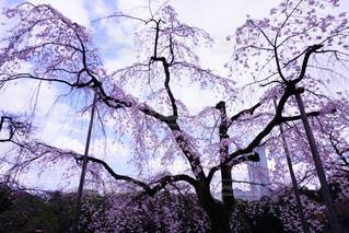 No.345177 桜