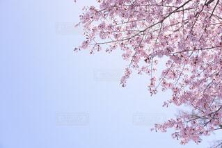 桜の写真・画像素材[465200]
