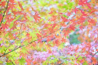 今年の紅葉も楽しみです🍁の写真・画像素材[735482]