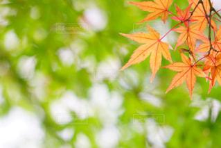 今年の紅葉も楽しみです🍁の写真・画像素材[735484]