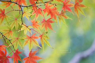 今年の紅葉も楽しみです🍁の写真・画像素材[735485]