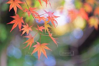 今年の紅葉も楽しみです🍁の写真・画像素材[735486]