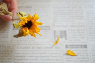ドライフラワーの向日葵の写真・画像素材[756528]