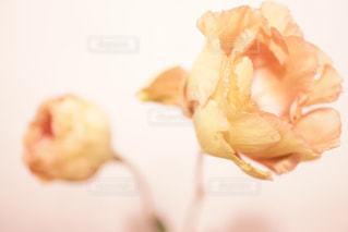 マロンカラーのオシャレなトルコキキョウ。この時期にぴったりの色味!の写真・画像素材[823532]