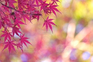 紅葉の季節、楽しみです🍁 - No.823534