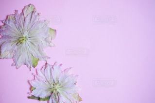 クリスマスローズの押し花の写真・画像素材[1028818]