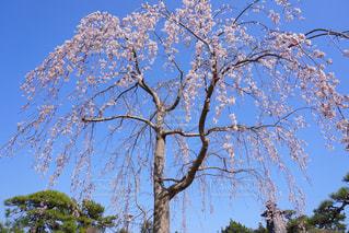 大きな木の写真・画像素材[1089235]