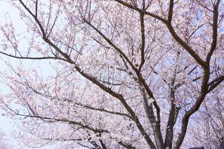花見の写真・画像素材[1995378]