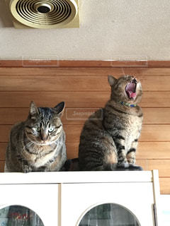 あくびをする子猫の写真・画像素材[343321]