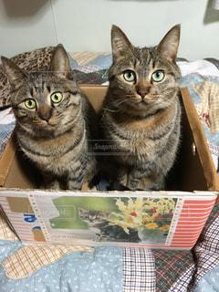 キジトラの双子の写真・画像素材[343325]