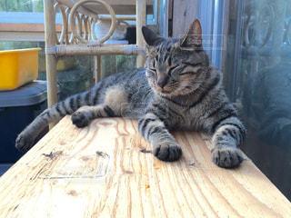 キジトラ猫の日向ぼっこの写真・画像素材[343489]