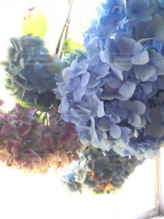 紫陽花をドライにの写真・画像素材[343492]