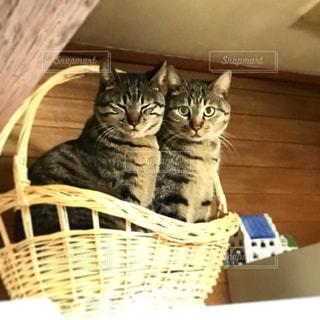 双子の猫の写真・画像素材[393858]
