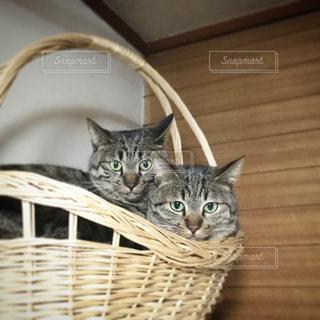 カゴの猫の写真・画像素材[393859]