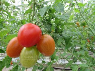トマトの写真・画像素材[368053]