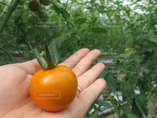 トマトの写真・画像素材[368055]