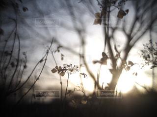 冬,植物,紫陽花,枯れ草,黄昏,夕陽,寂しい