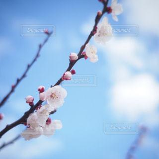 青空と桃の花の写真・画像素材[1010484]