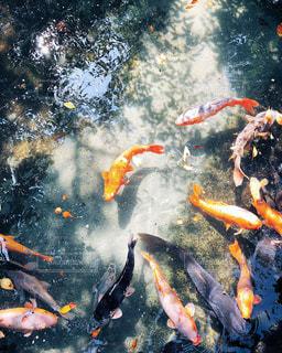 光と影と鯉との写真・画像素材[1371191]