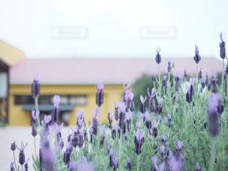 紫色の花の群の写真・画像素材[2375766]