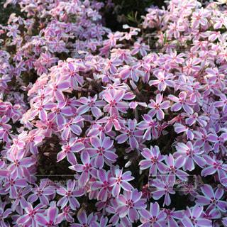 芝桜の写真・画像素材[345659]