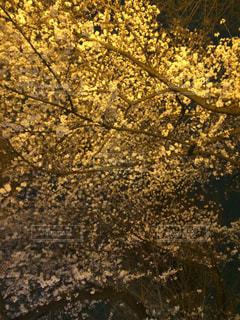桜の木 - No.345402