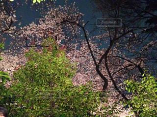 桜の写真・画像素材[345580]