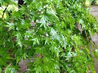 雨に濡れたカエデの葉の写真・画像素材[464973]